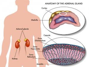 adrenal gland illustration