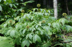 siberian ginseng plant by Flickr user Tatters