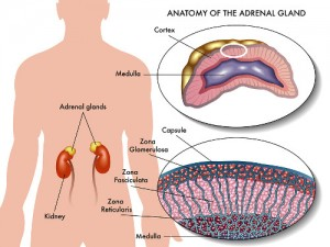 adrenal gland illustration