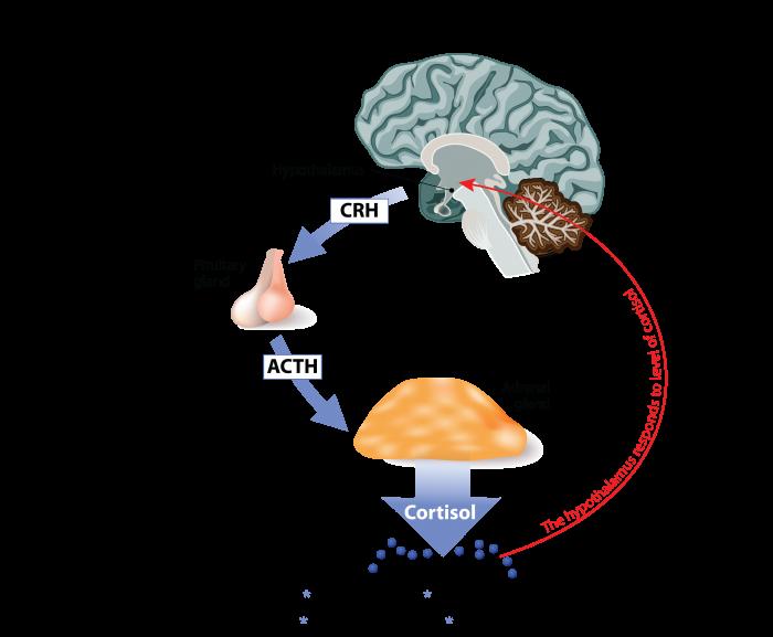 Adrenal Stress Response diagram