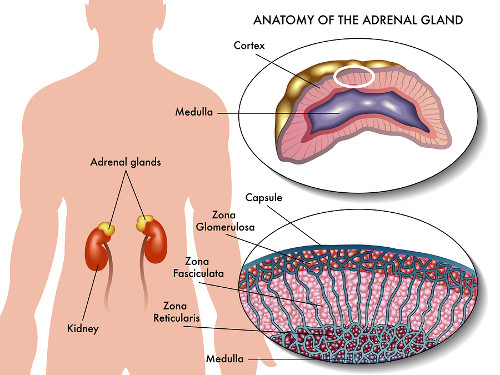 medical illustration of anatomy of adrenal gland